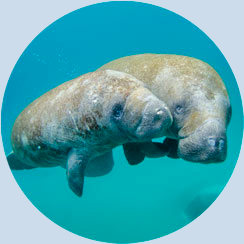 Manatees | Help Keep Florida Beautiful - Learn More about Corporate Membership Opportunities