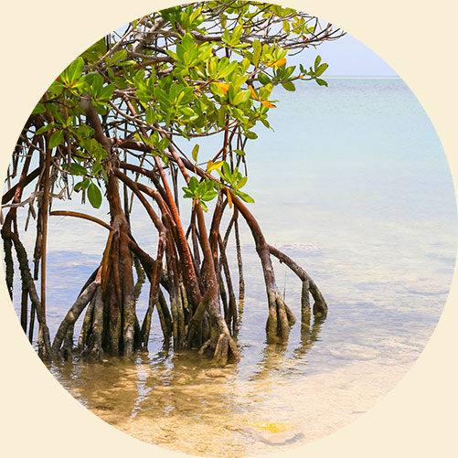 Mangroves on the Ocean | Keep Florida Beautiful: Litter Prevention, Recycling, and Education